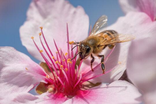 アーモンドの受粉をするミツバチ