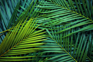 Wall Mural - closeup nature view of palm leaves background textures