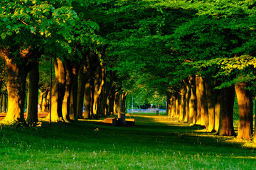 Green alley with trees with lush leaves foliage in summer on sunset