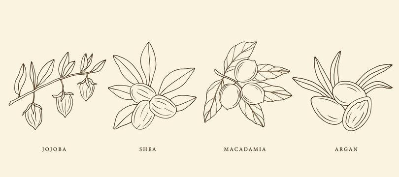 Collection of hand drawn jojoba, argan, shea, macadamia. Botanical design for organic cosmetics, medicine