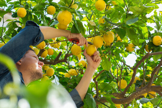 Smiling young man farmer harvesting, picking lemons in the orchard