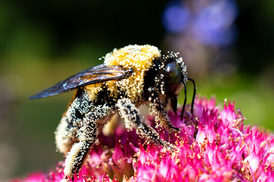 Big Bumble Bee Covered in Pollen