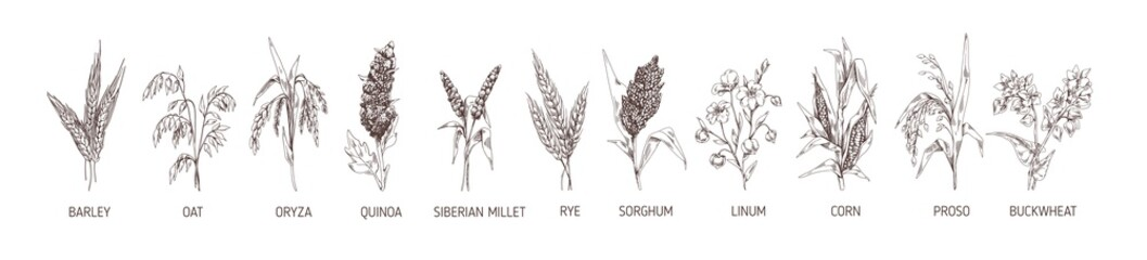 Obraz Set of cereal plants. Crops of barley, rye, corn, buckwheat, flax, oat, proso, quinoa, rice, Siberian millet and sorghum. Drawn vector illustration of detailed spikelets isolated on white background - fototapety do salonu
