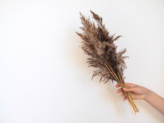 Woman hand holding fluffy pampas grass on gray background. Pampas in light pastel colors. Dry reeds boho style. Minimal, stylish, monochrome concept. Trendy home Eco decor. Place for text