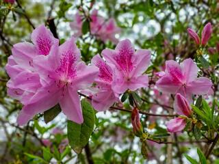 Roze azalea& 39 s in bloei