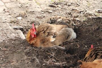 Fototapeta Szczęśliwe kury kopią w ziemi w ogrodzie obraz