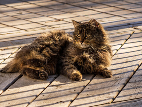 feral cat lazing on deck