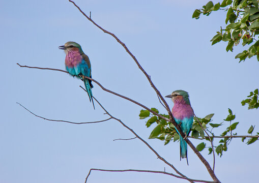 pair of lilac breasted rollers
