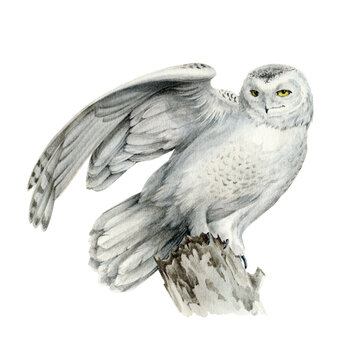 White polar owl. Watercolor illustration. Snow owl sit on the tree branch. Beautiful north wild bird. Realistic avian illustration. Arctic bird on white background