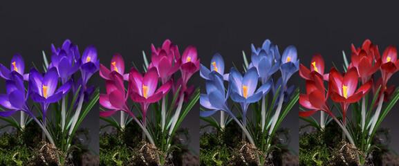 Fototapeta colorful crocuses on a dark background obraz