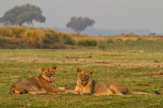 Two wild female lions sitting on the plains, stare, and make eye contact with the camera. Zimbabwe