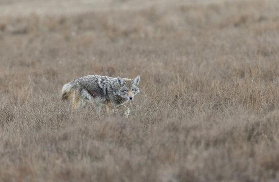 An urban coyote
