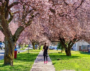 Girl walking on sidewalk lined with cherry blossoms