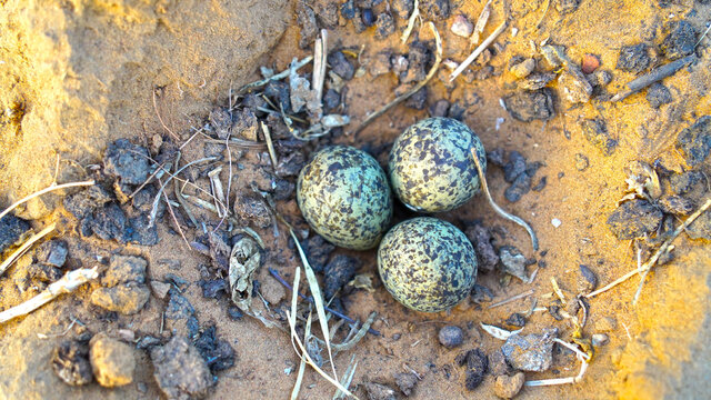 Vanellus spinosus or Plover bird with attractive eggs. Egg maturing in natural nest. Three eggs closeup.