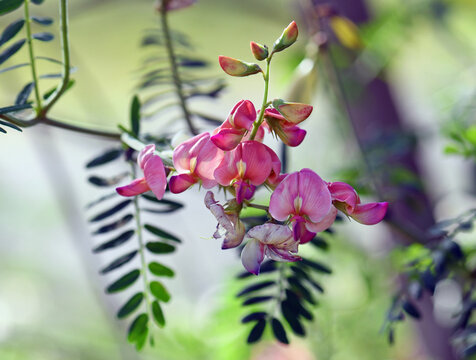 Colorful pink peach flowers of Australian Indigo, Indigofera australis, family Fabaceae. Widespread in woodland and open forest in New South Wales, Queensland, Victoria, SA, WA and Tasmania