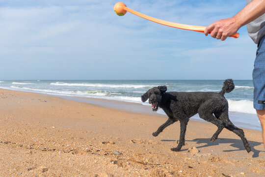man throwing a tennis ball on the beach for his poodle dog