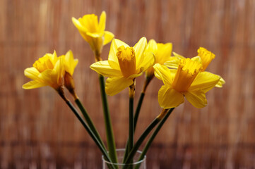 Yellow daffodils in a vase, narcissus, end of winter symbol