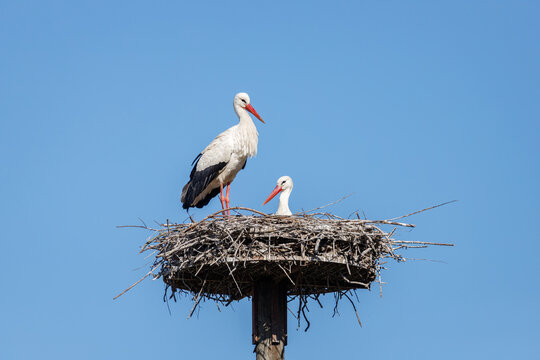 A couple of white storks in their nest, blue sky