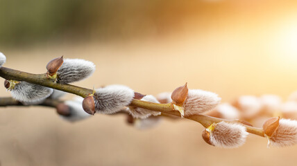 Fototapeta Pussy willow branch on blurred bokeh background. Sunny spring light. Empty spring easter background. Close-up.
