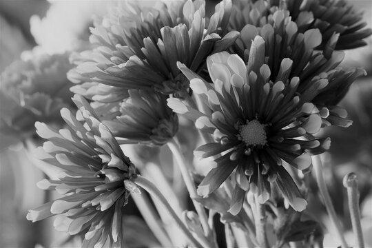 Chrysanthemum-Black & White