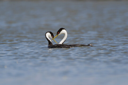 Pair of Western Grebes with bent necks forming a heart shape.