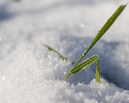 brin d'herbe entouré de neige