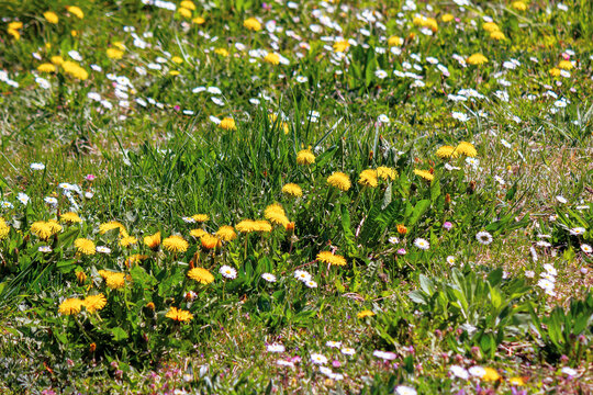 dandelions and daises close up on the green lawn. spring nature background. weeds growth problem concept