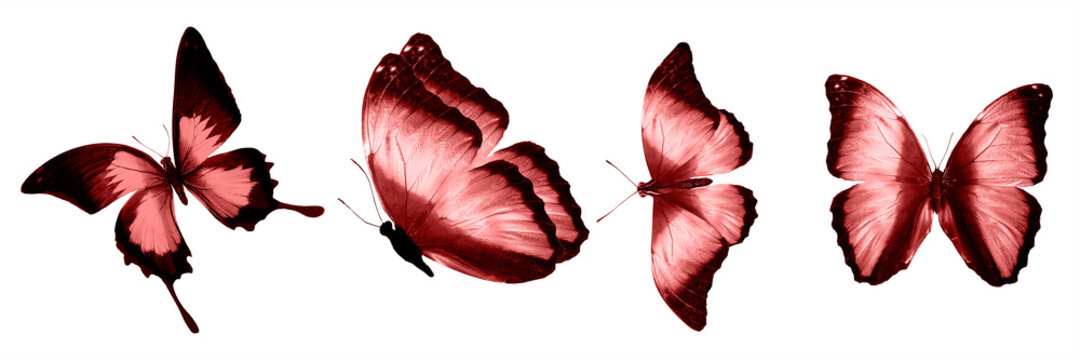 Red butterflies isolated on white background. tropical moths. insects for design. watercolor paints