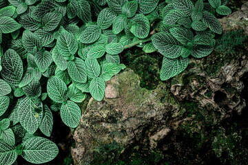 Wall Mural - closeup nature view of green leaves background, dark nature concept
