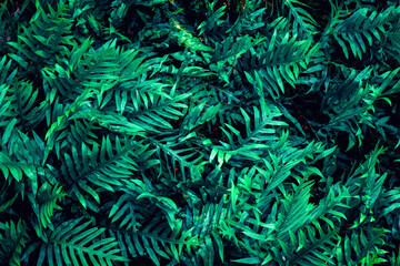 Wall Mural - Full Frame of Fern Leaves Texture Background. tropical leaf
