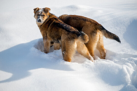 Mongrel dogs looking for food in the snow on a sunny winter day