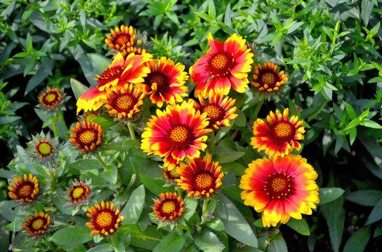 Blühende Kokardenblume - Gaillardia aristata