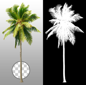 Cut out palm tree. Green tree isolated on transparent background via an alpha channel. Cutout coconut tree. High quality clipping mask for professional composition.