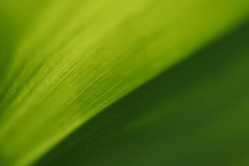 zielony liść konwalii w wiosennym ogrodzie