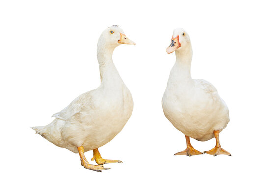 group white pekin ducks isolated on white background. diary duck cut out