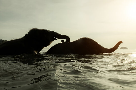 Two elephants swim in the Gulf of Thailand.