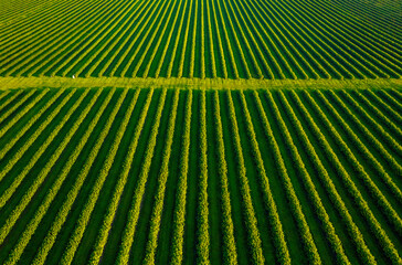 Wall Mural - Aerial top view of row blackcurrant bushes in sunny day.