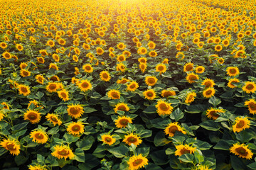 Wall Mural - Top view on bright yellow sunflower field in sunlight. Location place of Ukraine, Europe.
