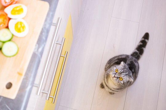 A gray Scottish Fold cat with yellow eyes sits on the kitchen floor and looks up at the table where there is a wooden cutting board with an egg and vegetables. Pet food concept.
