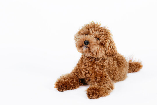 Studio shot of young adorable maltipoo pup isolated on white background. A hybrid between the maltese dog and miniature poodle with a long low shedding wavy hair. Close up, copy space.