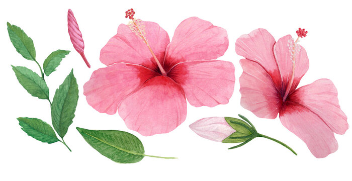 Hibiscus rosa watercolor with leaf for havaii party or luau party. Watercolor floral illustration for botanical card