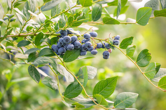 Close up of branch full of bio and organic blueberries in the farm