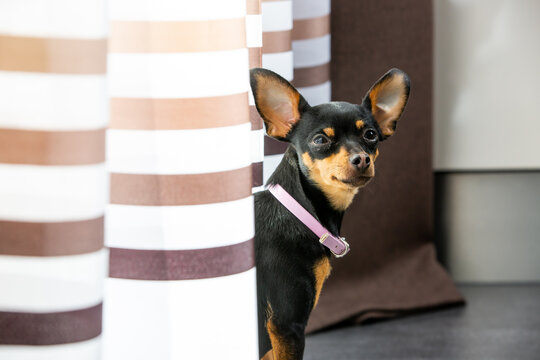 Lovely chihuahua dog resting or relaxing at home, pet in the house, animal concept