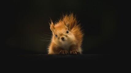 squirrel on a black background