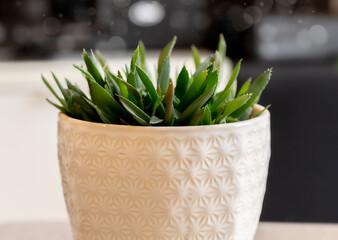 Fototapeta Sukulent w ceramicznej doniczce w domu. Zdjęcie makro aloesu. obraz