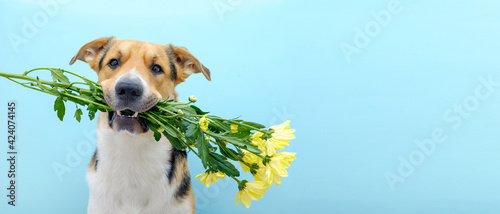 Close up of a dog holding a flower bouquet of chrysanthemum in its teeth on the blue background. Tricolor dog congratulating or celebrating mother's day. International women's day. Copy space.