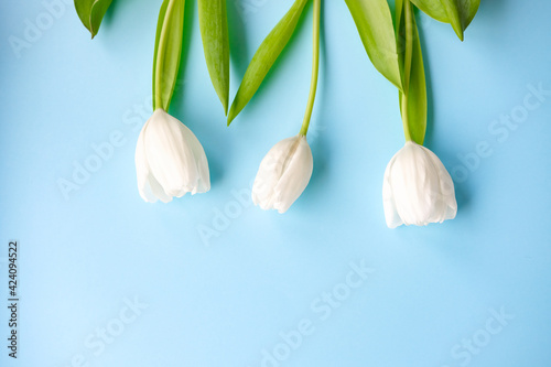 women day. Mother day .White tulips on pink background.Spring flowers.Flowery background.
