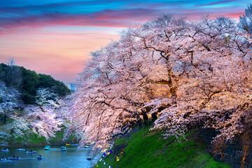 Wall Mural - Cherry blossoms at Chidorigafuchi park in Tokyo, Japan.