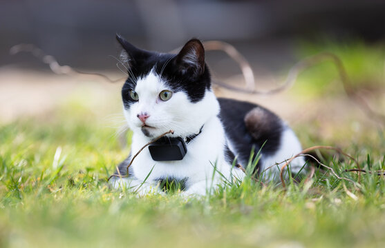 Small cat wearing gps tracker outdoors
