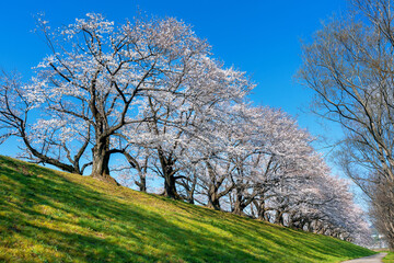 Wall Mural - Row of Cherry blossoms trees in spring, Kyoto in Japan.